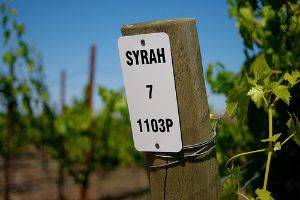Syrah vineyard post