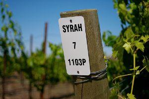 Syrah vineyard post